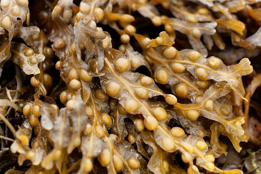 1. rostlinana hubnutí: chaluha bublinatá (Fucus vesiculosus) zrychluje metabolismus