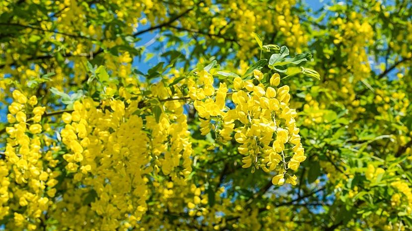 Zlatý déšť - štědřenec odvislý (Laburnum anagyroides) je prudce jedovatý keř