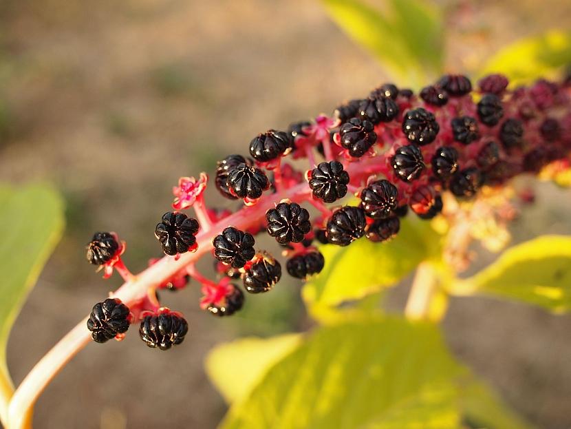 Zralé plody líčidla