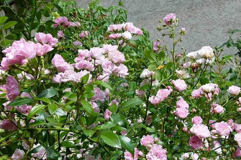 Jak nejsnadněji namnožit půdopokryvné růže 1