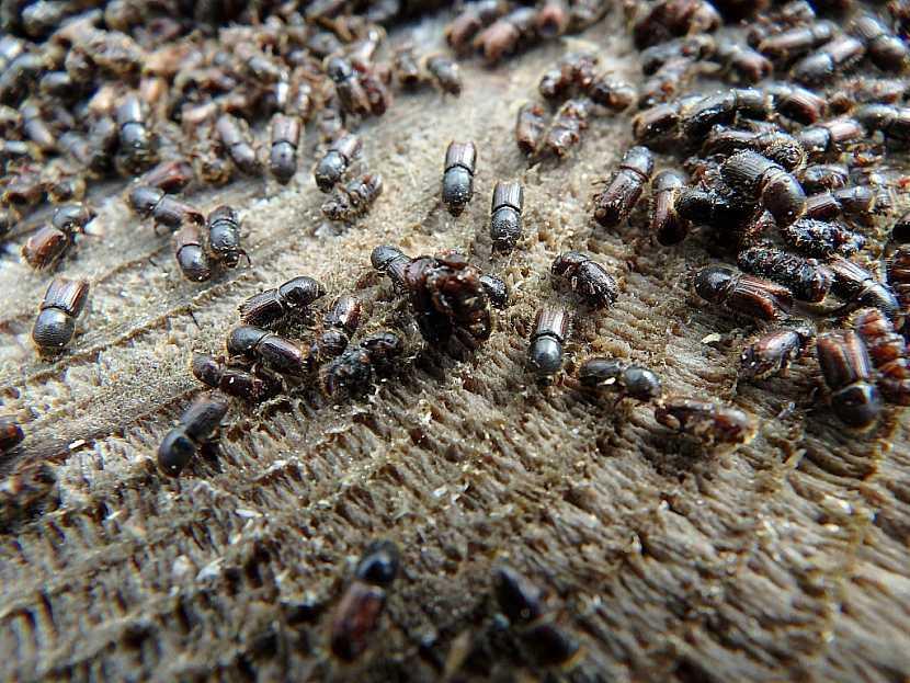 Dřevo napadené kůrovcem je nutné zpracovat ve velmi krátké době
