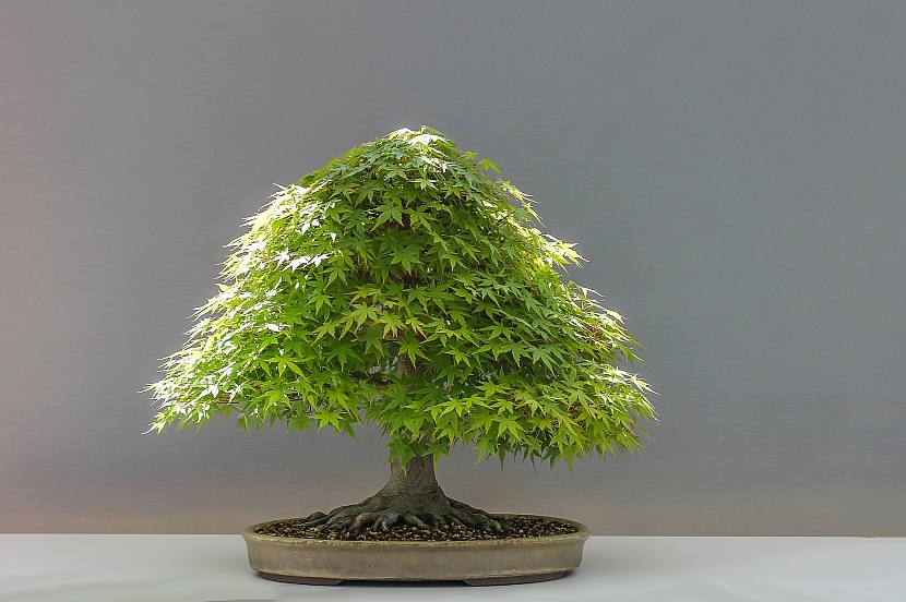 Vypravte se na výstavy bonsají za krásami rostlinných miniatur 3