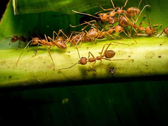 Mravenci mnohokrát nejsou škodnou v zahradě, zlikvidují spoustu škůdců (Zdroj: Depositphotos)