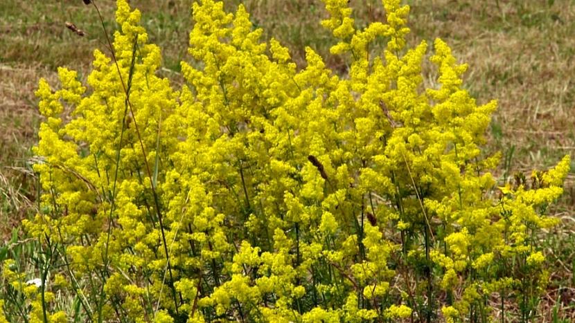 2. rostlinana hubnutí:svízel syřišťový (Galium verum) snižuje chuť k jídlu (Galium verum)