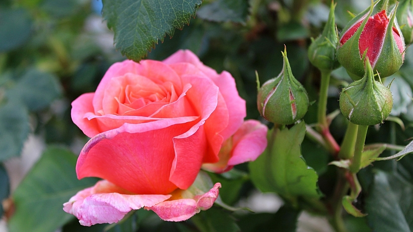Předpověď počasí a zahrada: věnujte se růžím
