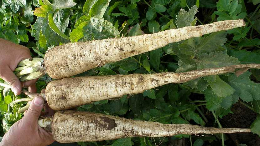 Pastinák setý (Pastinaca sativa), velmi výnosná odrůda DLOUHÝ BÍLÝ