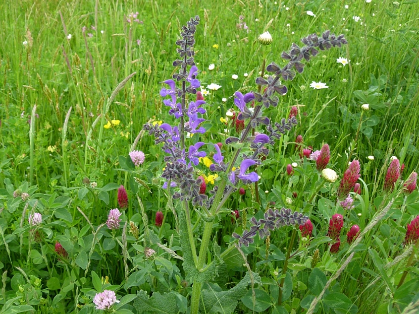 Na květnaté louce jsou zastoupeny různě vysoké druhy květin