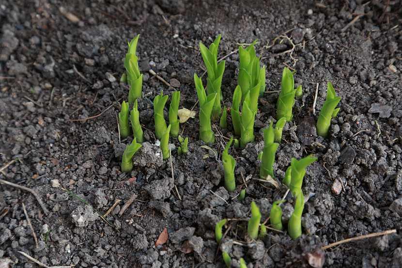 1 rašící hosty mají na jaře typicky kornoutkovitě stočené listy