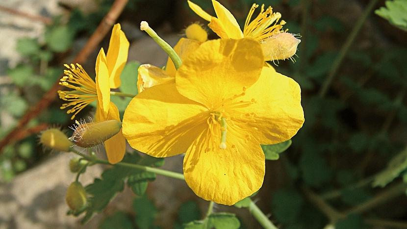 Skrytá řeč rostlin: neobyčejné účinky má vlaštovičník větší
