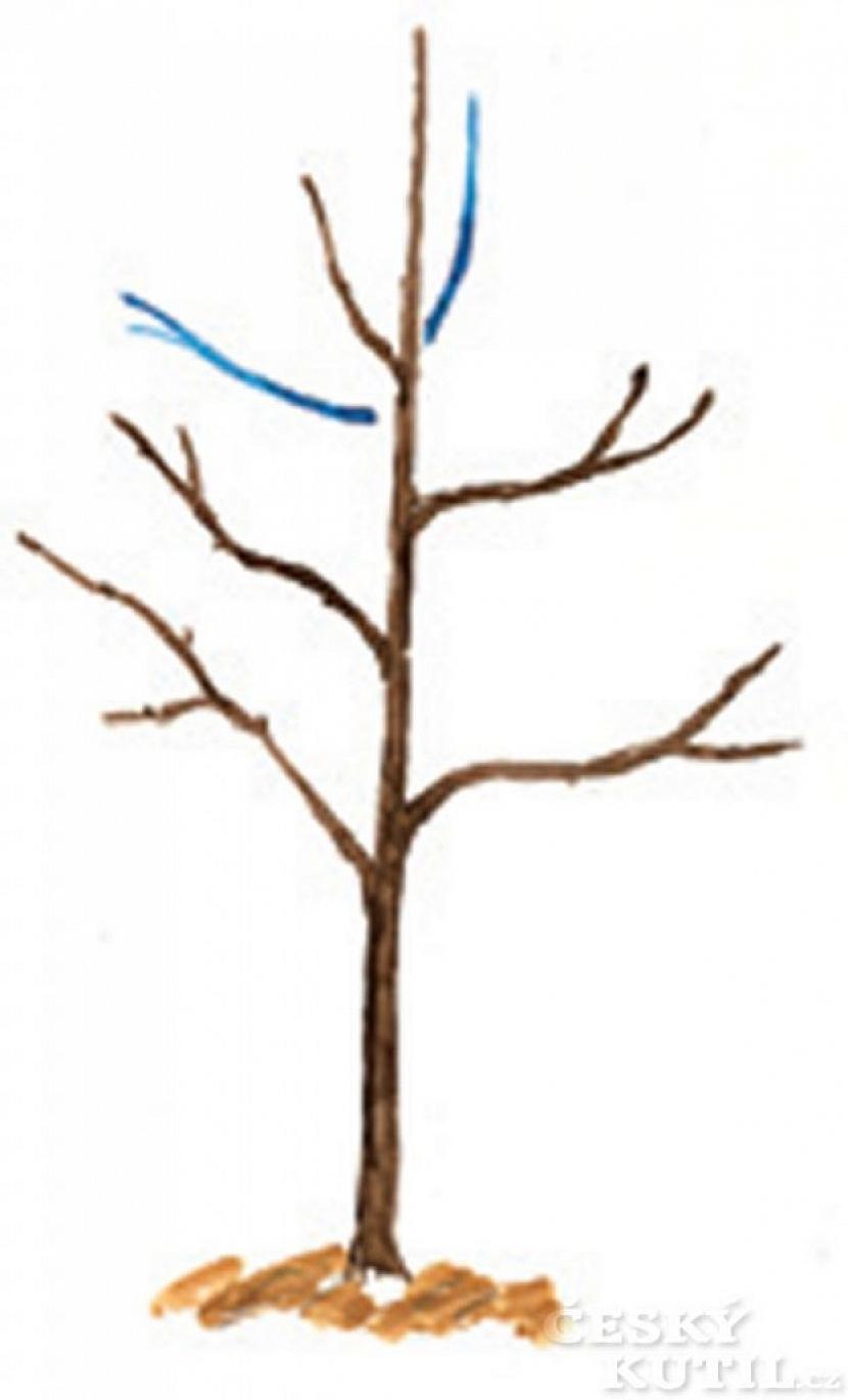 První řez opadavého stromu