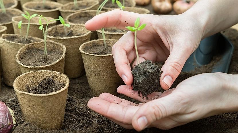 Vzrostlé rostlinky přesaďte je do jednotlivých květináčů, nejlépe rašelinových