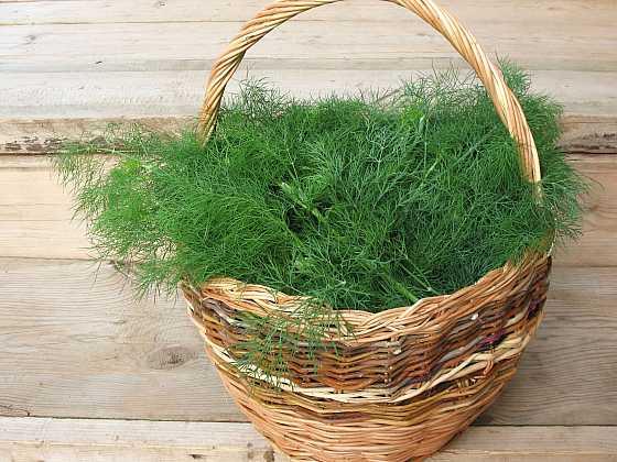 Kopr je velmi užitečná rostlina, kterou si vypěstujete v květináči i na záhonu (Zdroj: Depositphotos)