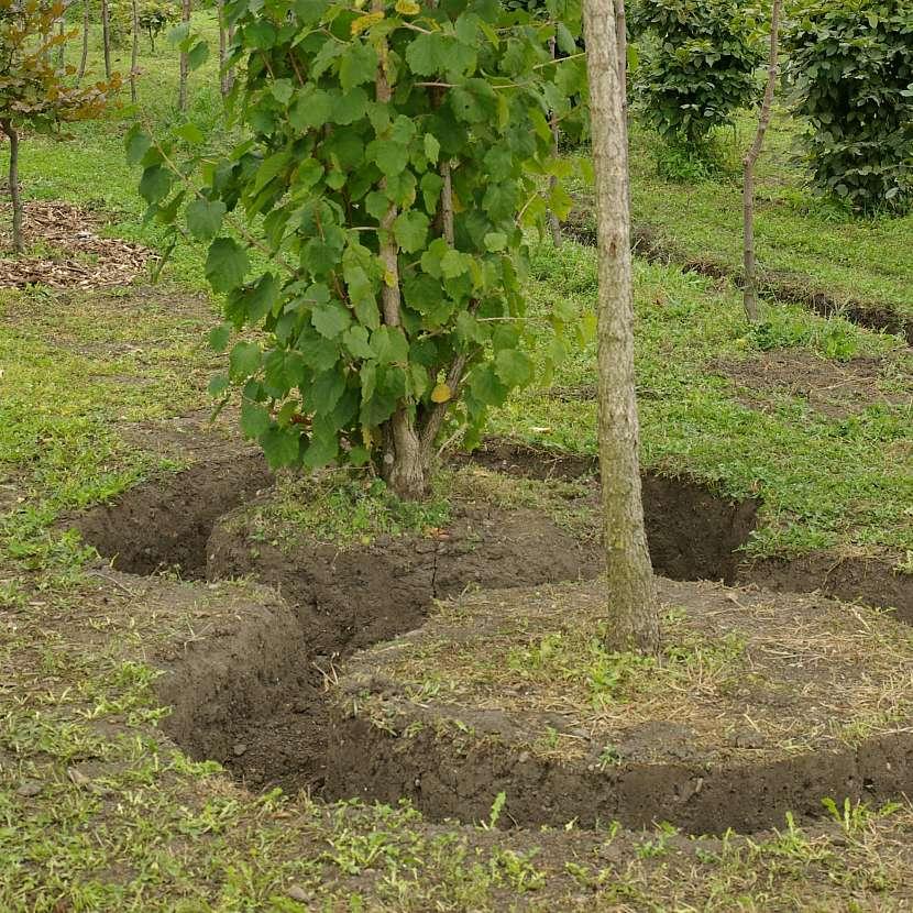Strom potřebuje před přesazením dlouhou přípravu