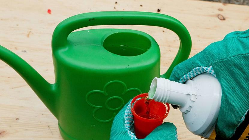 Sázení muškátů: s hnojením měsíc počkejte