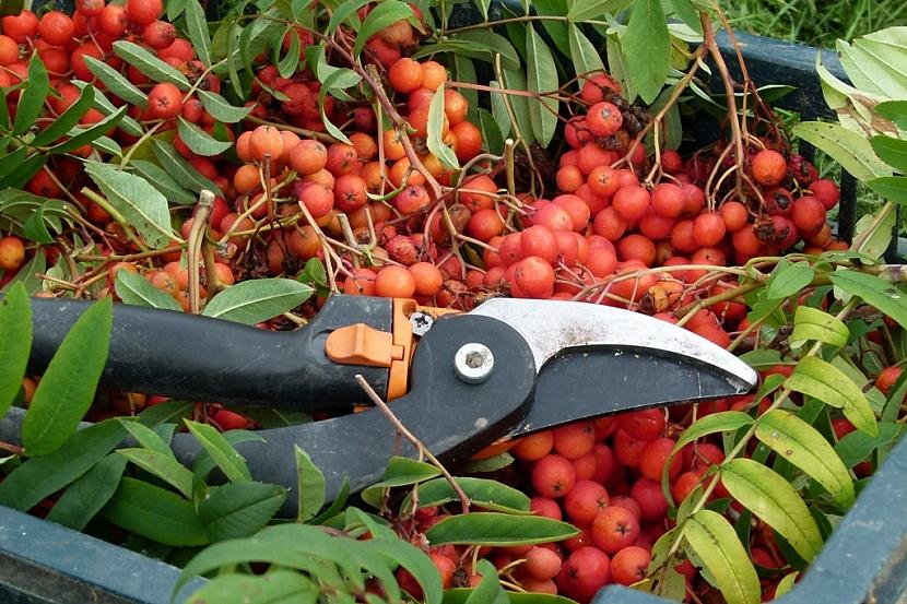 Plody jeřábu jedlého obsahují hodně vitaminu C