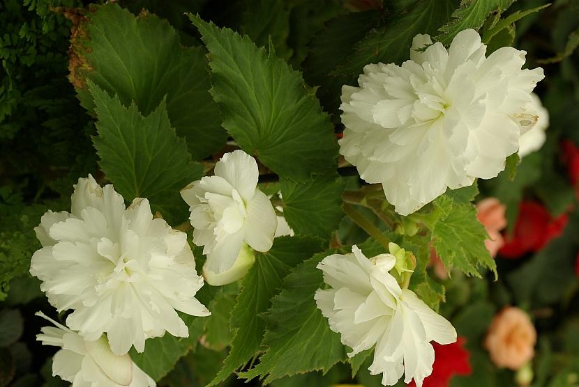 Begonia Chanson F1 bílá