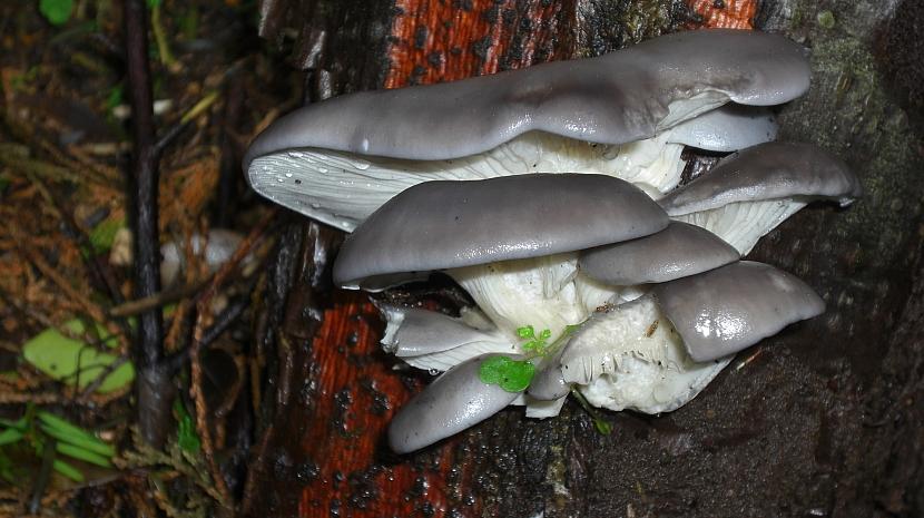 Hlíva ústřičná: houba s léčivými účinky