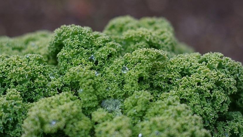Předpověď počasí a zahrada: vysejte kadeřávek pro zimní sklizeň