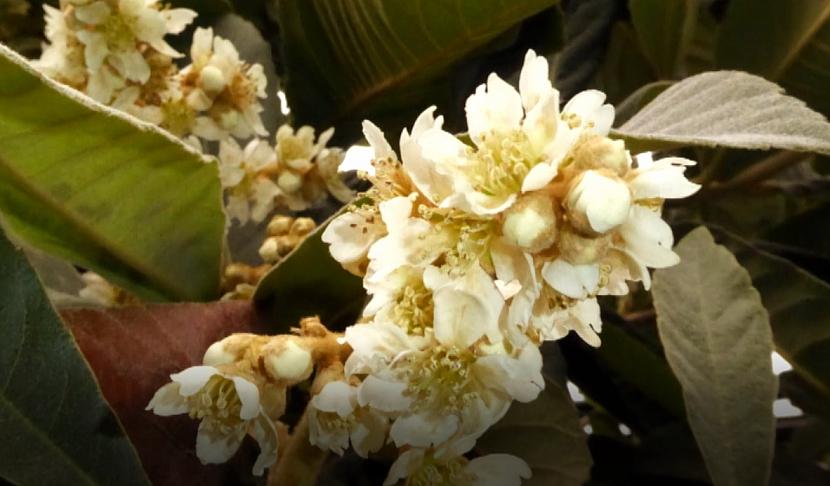 Něžné květy lokvátu