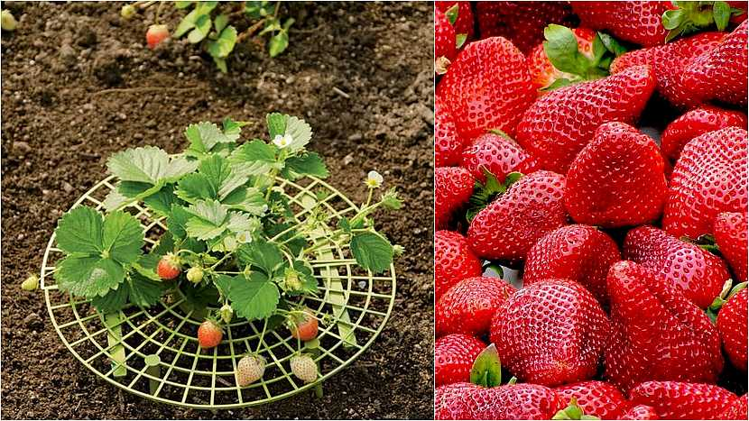 Jak vypěstovat čisté jahody: Plastové talířky