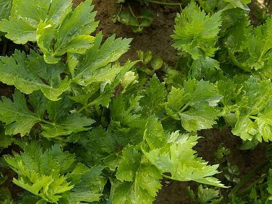 Řapíkatý celer má mnoho benefitů (Zdroj: Daniela Dušková)