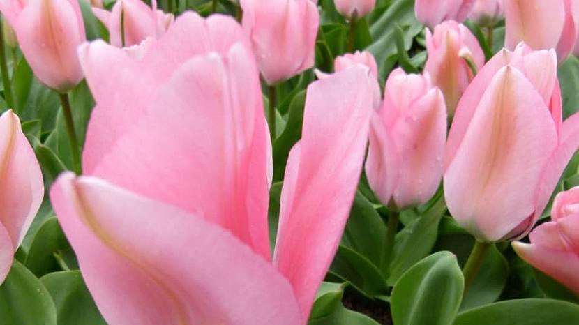 Jak na jaře pečovat o skutečné krále jarní zahrady: Tulipány 2