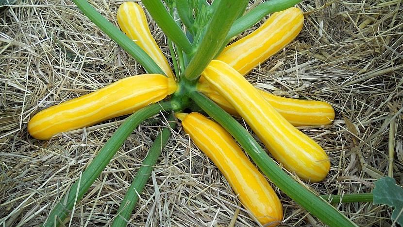 Cuketa žlutá, hybridní odrůda Sunstripe F1 má zářivě žluté plody se zlatým žíháním