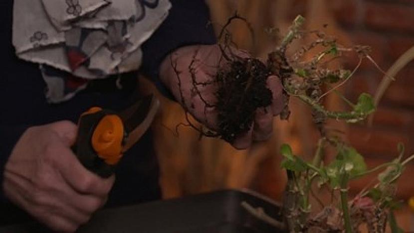Zastřihování kořenů