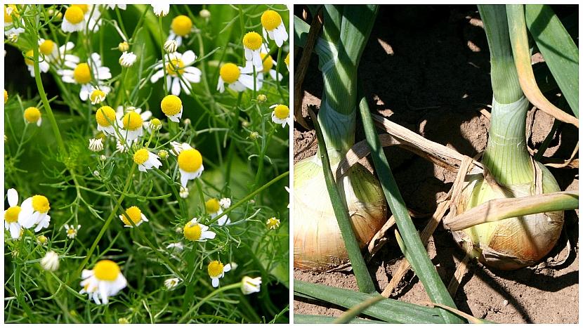 Heřmánek pravý (Matricaria chamomilla) chrání cibuli i řepu