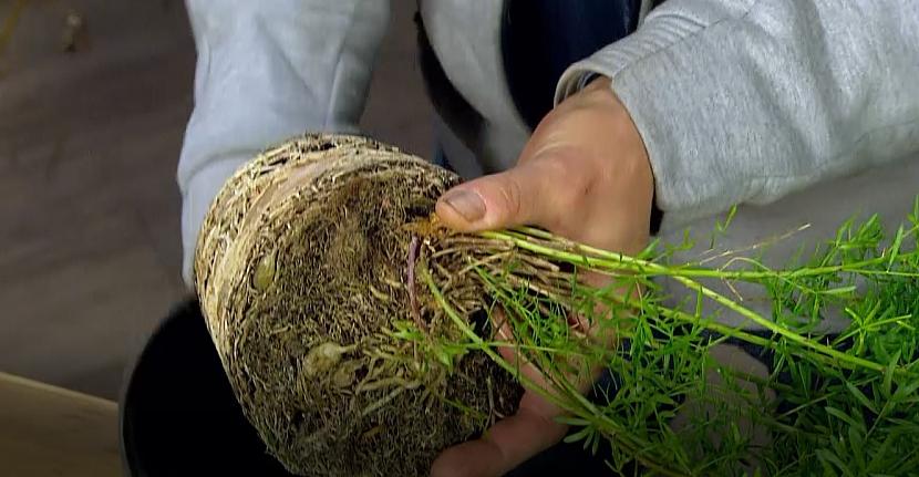 Přesazování asparagusu