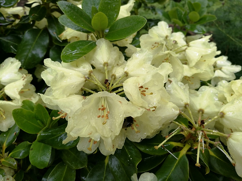 Rododendron 'Marianne IV.'