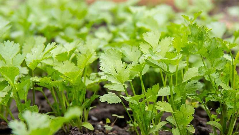 Petržel zahradní naťová (Petroselium crispum) chce propustnou a úrodnou půdu