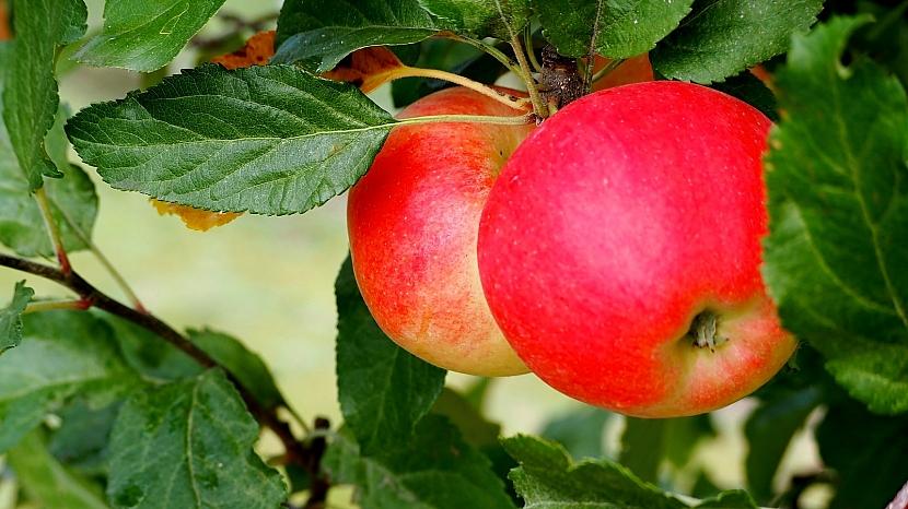 Zahradnický horoskop: Býk dává přednost ovocným stromům