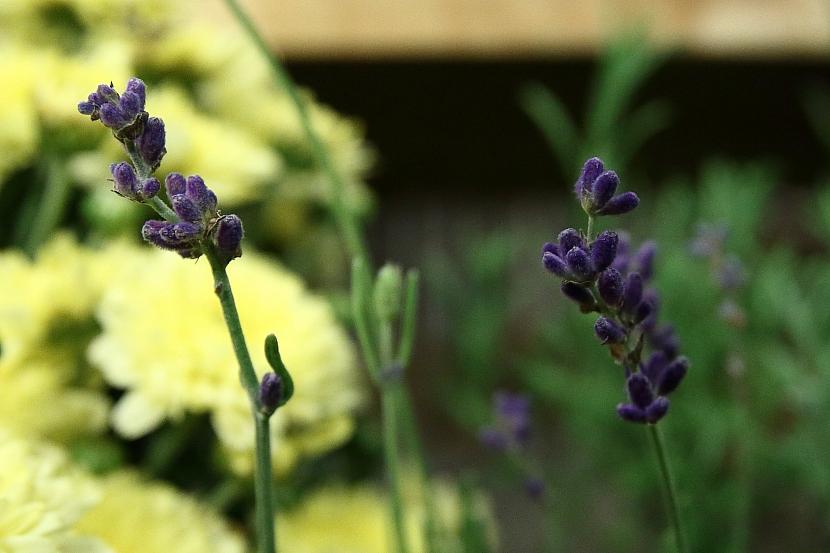 Lépe prosperují levandule s tmavě fialovými květy
