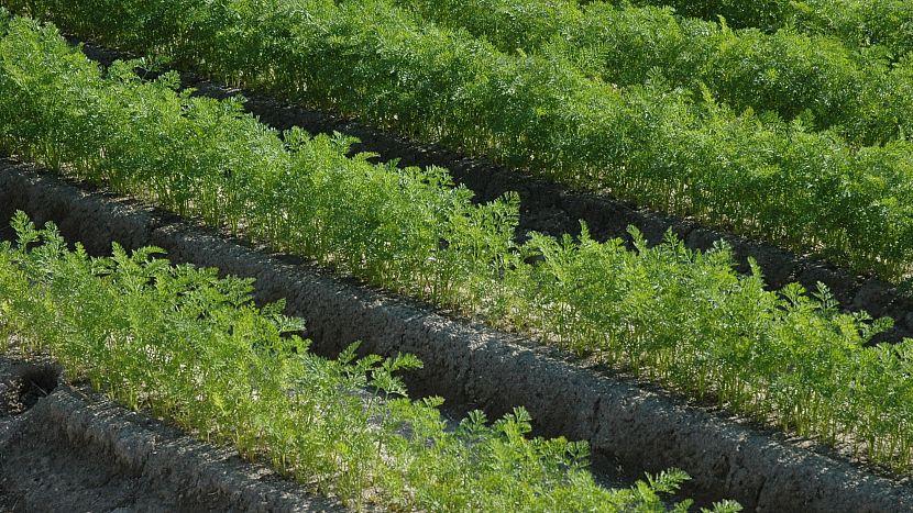 Nad mrkev ze zahrady není: při pěstování může pomoci tzv. hrůbkování