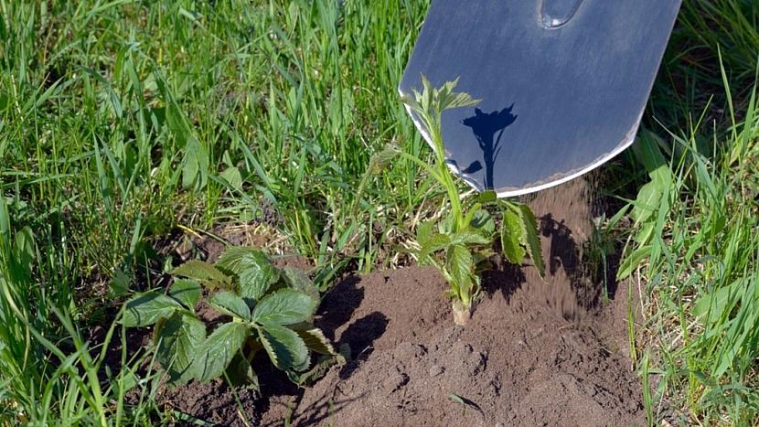 Ostružiník křovitý (Rubus fruticosus) není náročný ani na péči, ani na půdu