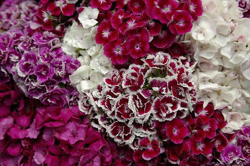 Směs barev hvozdíku bradatého (Dianthus barbatus)