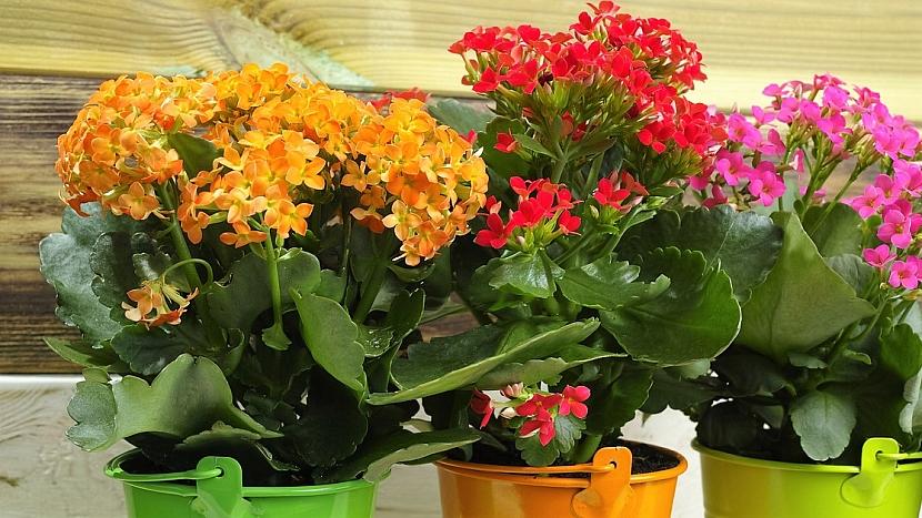 Pokojové rostliny rodině na míru: veselá kalanchoe - kolopejka vděčná (Kalanchoe blossfeldiana) - udělá radost dětem