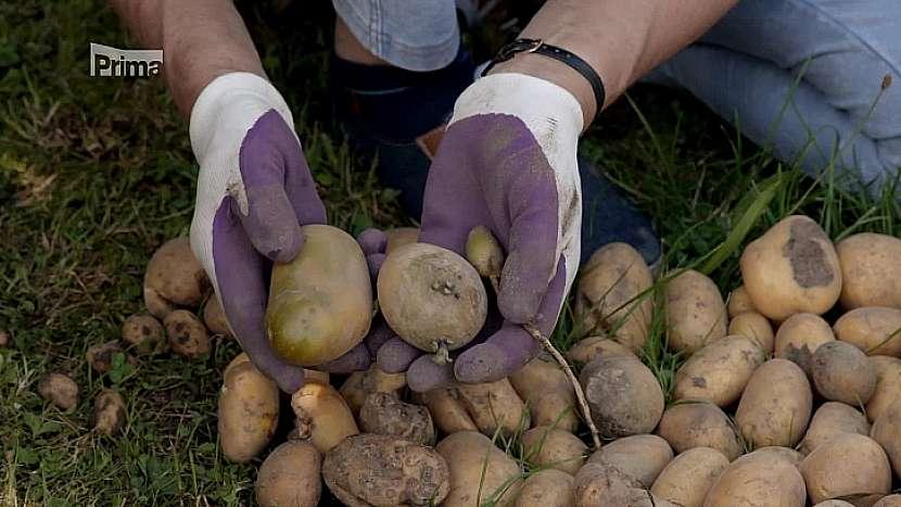Třídění brambor ze sklizně