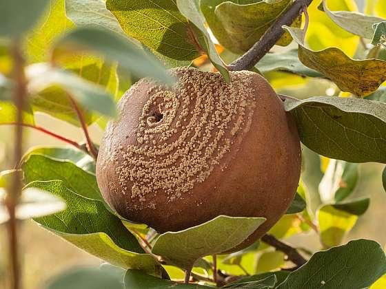 Moniliová spála na jabloních nás připraví i o celou úrodu (Zdroj: Depositphotos)