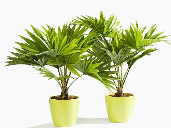 Pěstujeme palmy ze semen (Zdroj: Depositphotos)