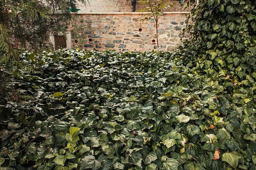 Plazivý břečťan svými liánami brzy pokryje i nejstinnější kout severní stěny
