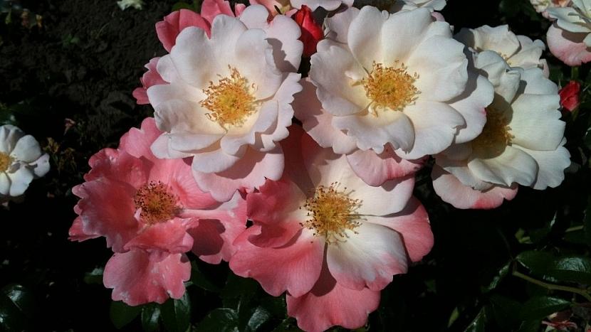 Velmi odolná mnohokvětá růže Roseromantic