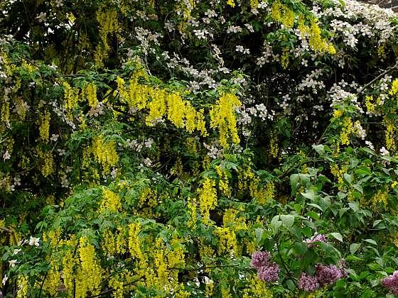 Štědřenec svoji barvou květů a termínem kvetení doplňuje šeříky (Zdroj: Daniela Dušková)