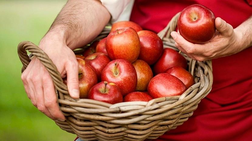 Jak jablka sklízet: důležité je, abyste plody nemačkali, ani je nezranili nehty