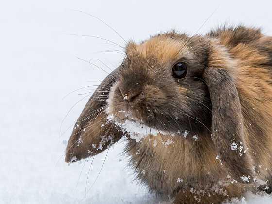Krmení pro králíky musí být vyvážené i v zimě (Zdroj: Depositphotos)