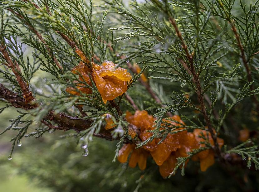 houby Tremella sabinae