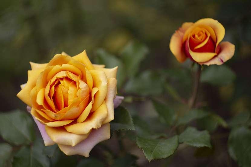 Vaši péči na podzim vám růže na jaře a v létě oplatí