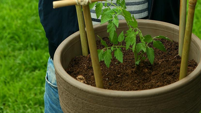 Jak udělat vychytanou opěrnou konstrukci ke keříčkovým rajčatům 1