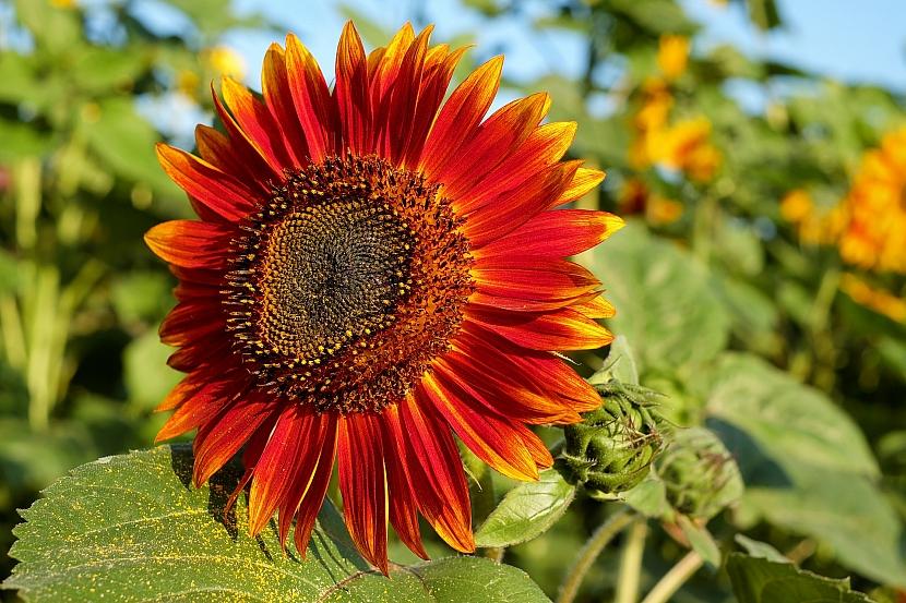Slunečnicím sluší i méně tradiční barvy